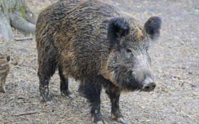 Das Veterinäramt informiert: Keine Speisereste an Hausschweine verfüttern!